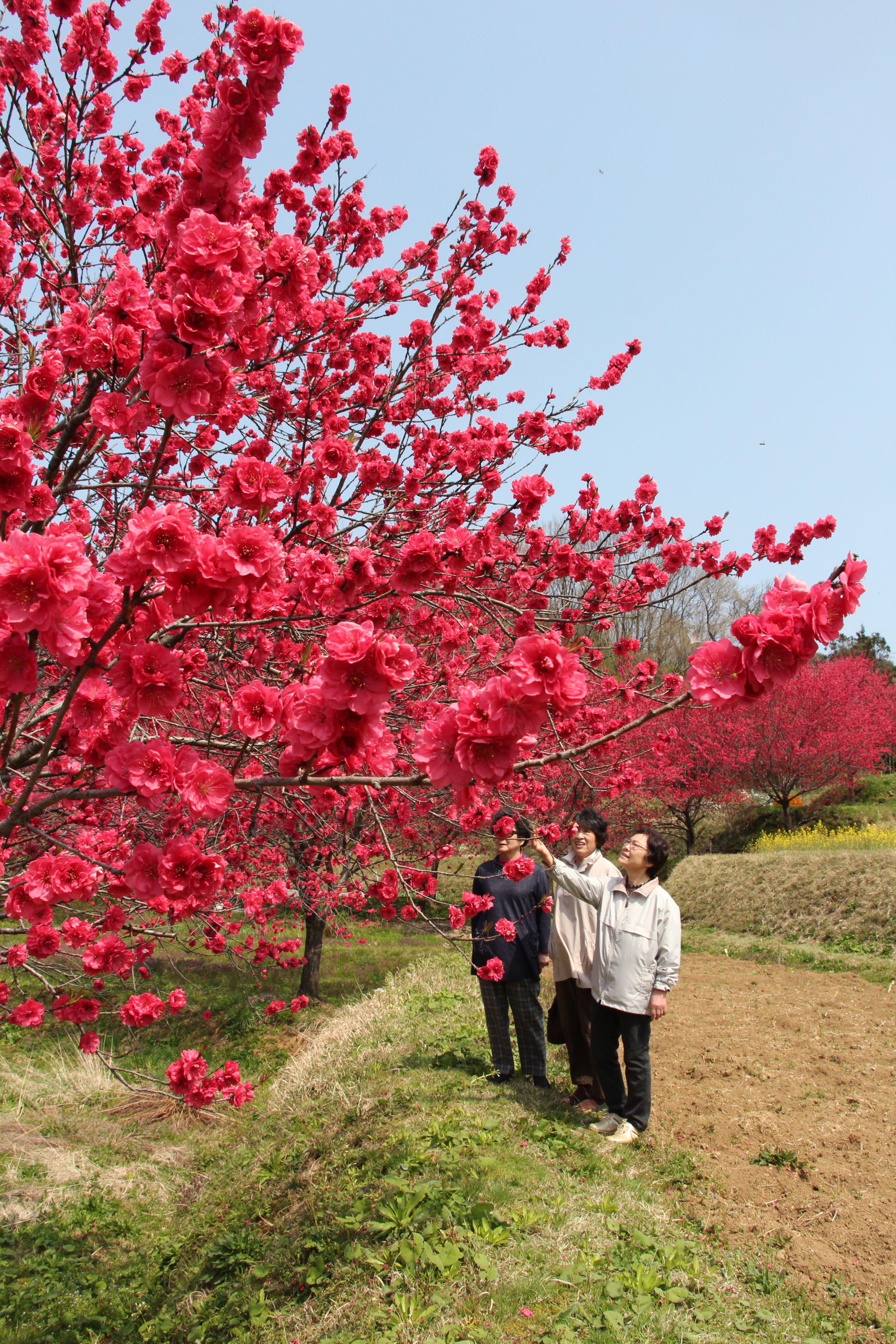 見ごろを迎えたハナモモ。鮮やかな赤色の花を咲かせている=16日、柏崎市谷根