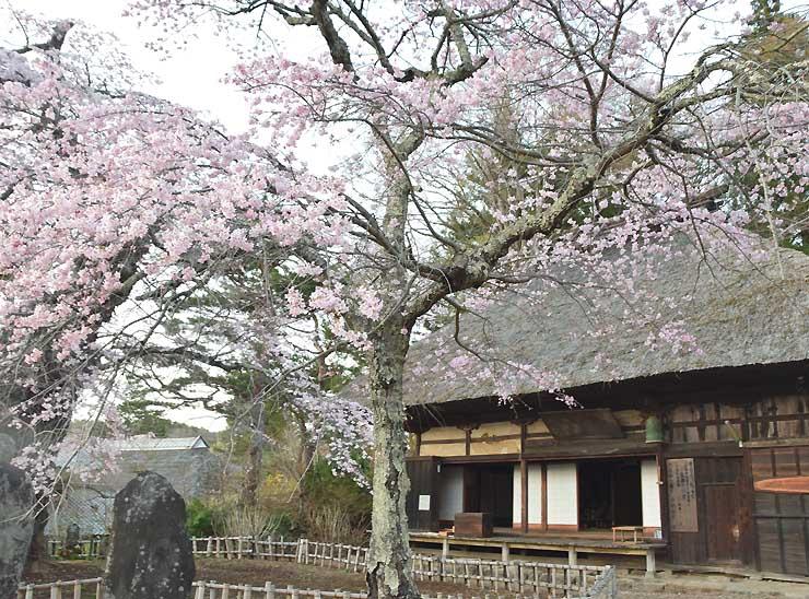 ツアーで訪れる富士見町境の高森観音堂のシダレザクラ=14日
