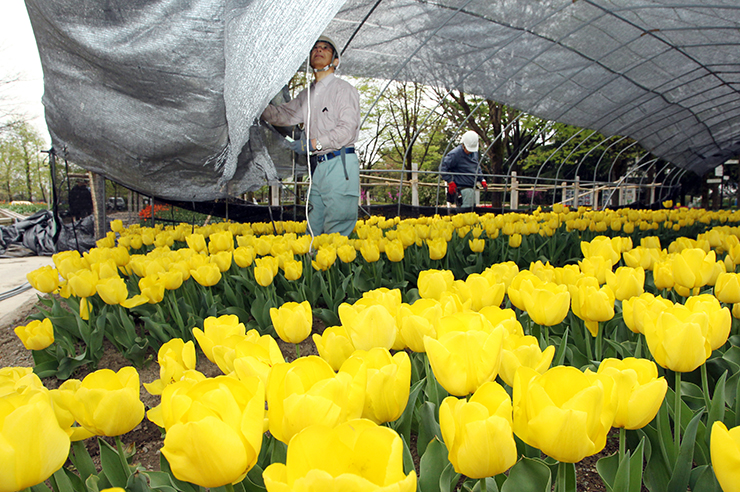 フェアの開幕を控え、チューリップの花壇を覆っていたネットを取り外す作業員=砺波チューリップ公園