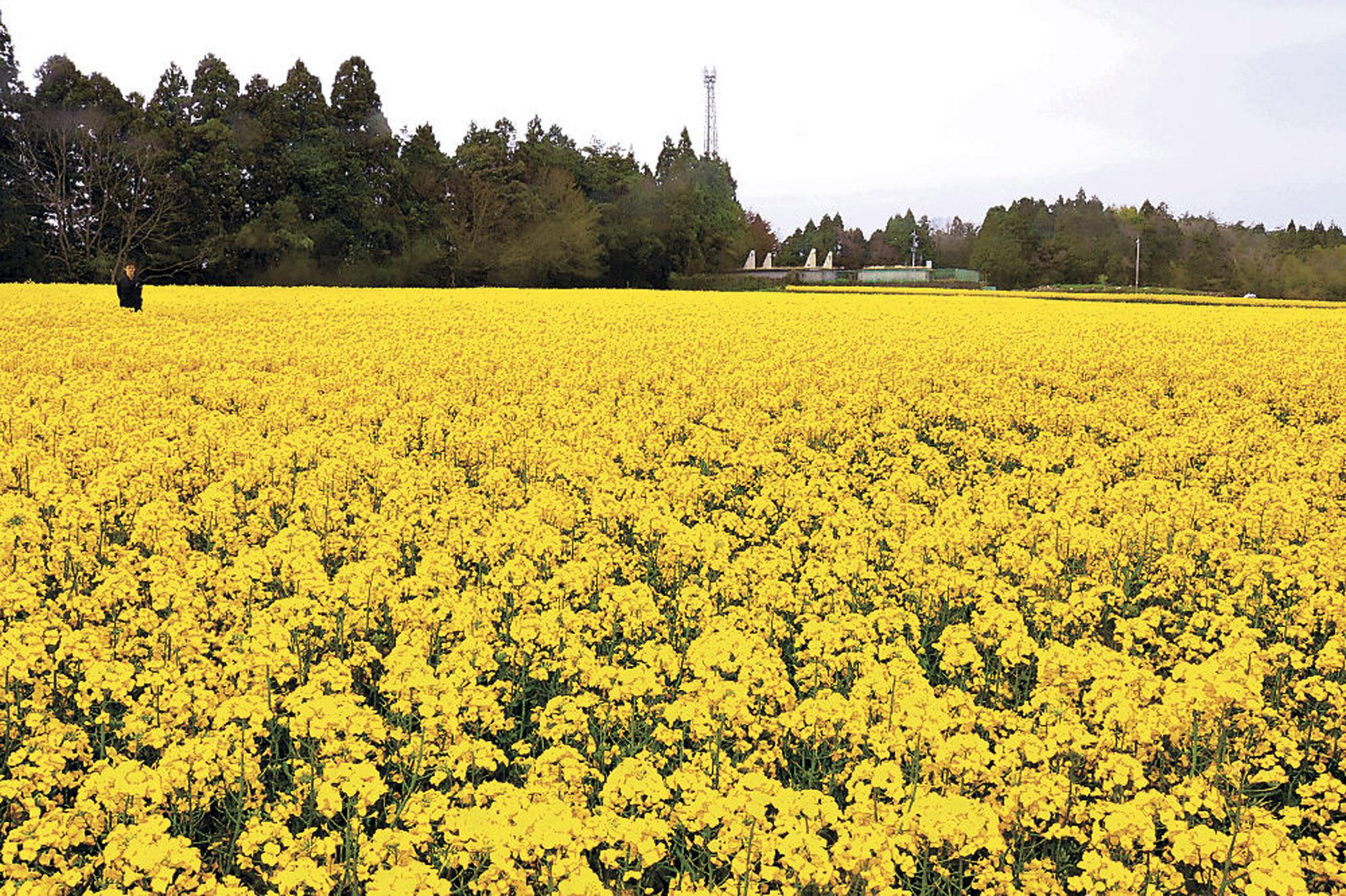 色いじゅうたんのように広がる菜の花畑=能登町秋吉