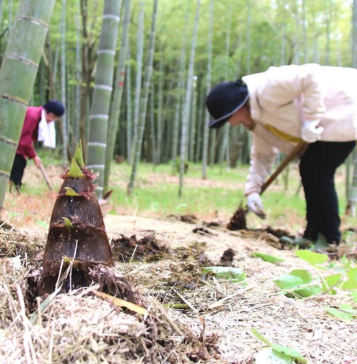地面から顔をのぞかせたタケノコを掘り出す人たち=21日、豊丘村河野