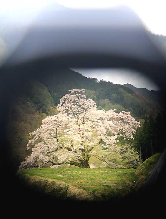 カメラのファインダー越しに、別のカメラで撮影した「駒つなぎの桜」。風格のある姿が訪れた人たちを魅了し続けている=21日、阿智村