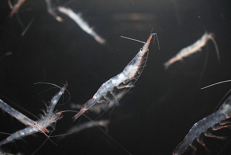 足を動かして泳ぐシロエビ=魚津水族館