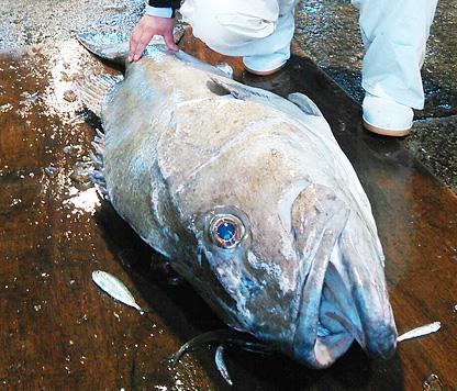 定置網に掛かった体長約1.5メートルのオオクチイシナギ=新湊漁港