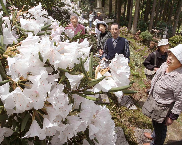 庭園内で咲き誇るシャクナゲ=朝日町境の護国寺