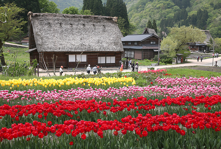 色とりどりのチューリップが咲く菅沼合掌造り集落