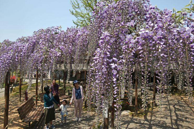見頃を迎え、薄紫色の花が咲き誇るフジ棚=27日、新潟市江南区沢海2の北方文化博物館