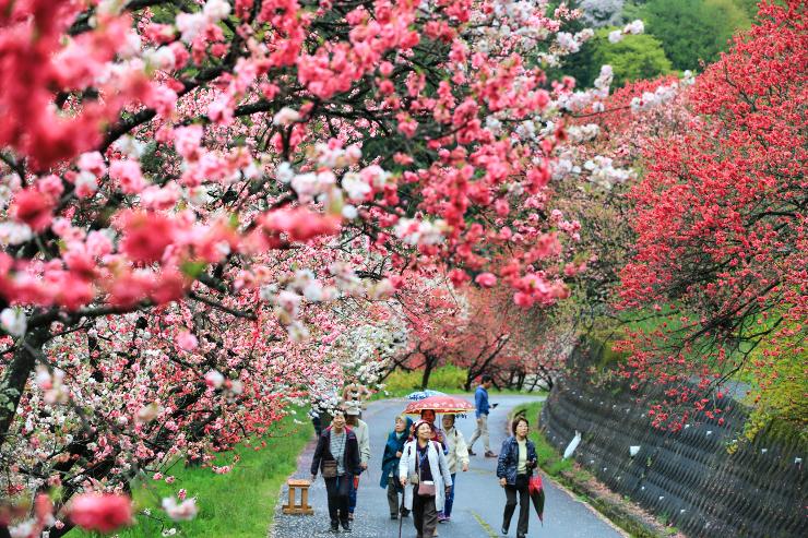 小雨に打たれ、彩りを増す月川温泉郷のハナモモ。観光客が歩く道を覆うようにこんもりと咲いている=28日、阿智村智里