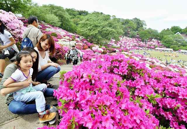 さばえつつじまつりが始まり、満開のツツジを楽しむ家族連れ=3日、福井県鯖江市の西山公園