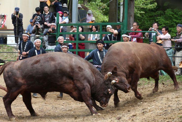 迫力ある取り組みが繰り広げられた牛の角突き初場所=3日、小千谷市小栗山