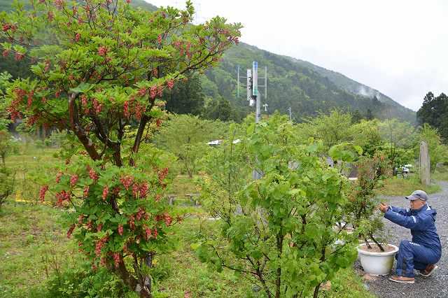 かわいらしい花が楽しめる「新庄紅どうだんつつじ公園」=6日、福井県美浜町新庄