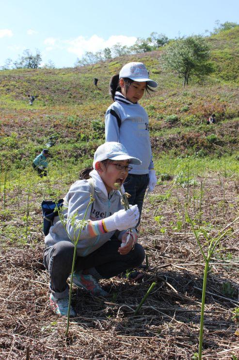 今季の営業を開始した丸渕観光わらび園でワラビを摘む子どもたち=8日、阿賀町七名乙