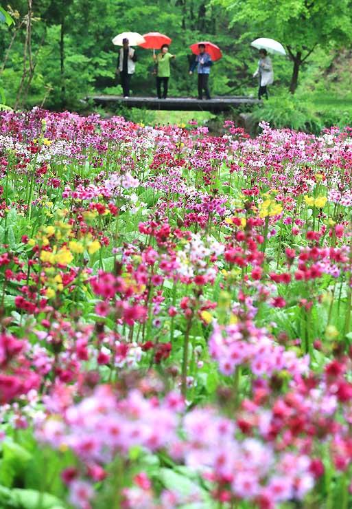 小雨の中、しっとりと咲く九十九谷森林公園のクリンソウ