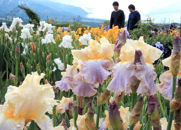 雨上がりに、滴を落としながら鮮やかに咲くジャーマンアイリス=11日、豊丘村神稲