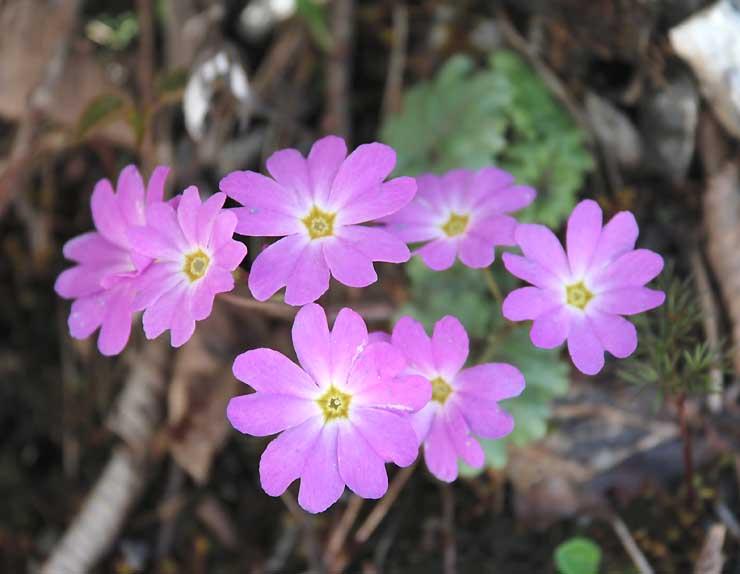 南ア林道沿いの岩肌に咲くシナノコザクラ=12日