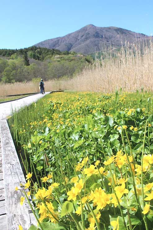 黄金色のリュウキンカが広がる大谷地湿原