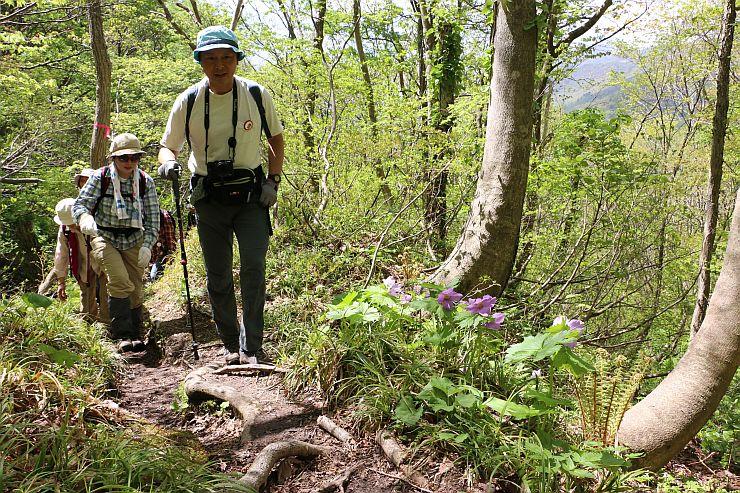 シラネアオイなど多くの山野草が群生するアオネバ登山道を歩く「春の花探勝会」の参加者(8日、佐渡市)