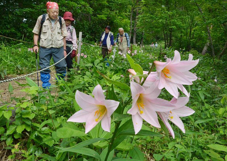 山道に咲き始めたヒメサユリ=2012年6月6日の様子(三条市森町)