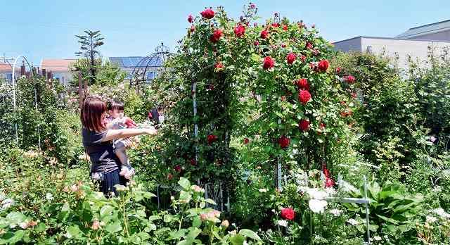 約100種類のバラが植えられ、見頃を迎えたバラ園=13日、坂井市春江町随応寺中央