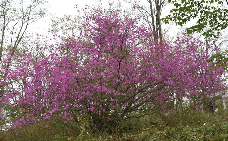 枝いっぱいに花を付けたトウゴクミツバツツジ