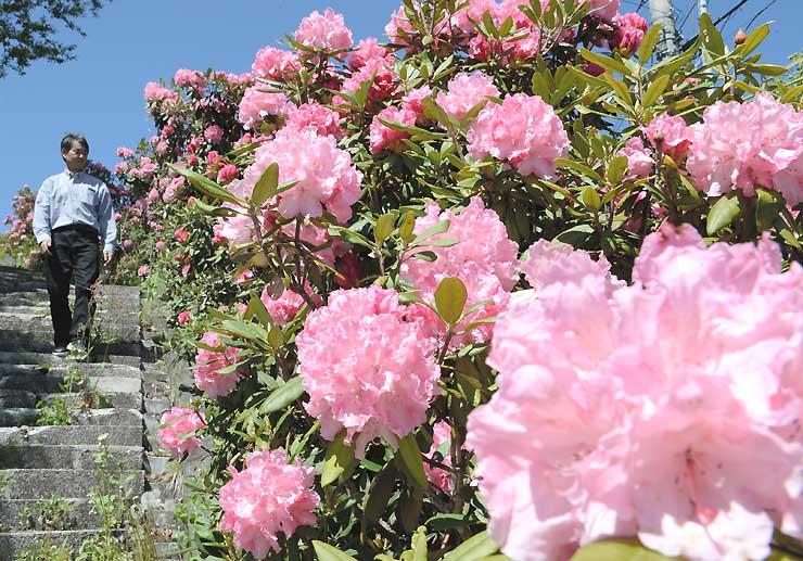 日差しを浴びたピンク色の花が青空に映えるシャクナゲ=18日、小川村稲丘