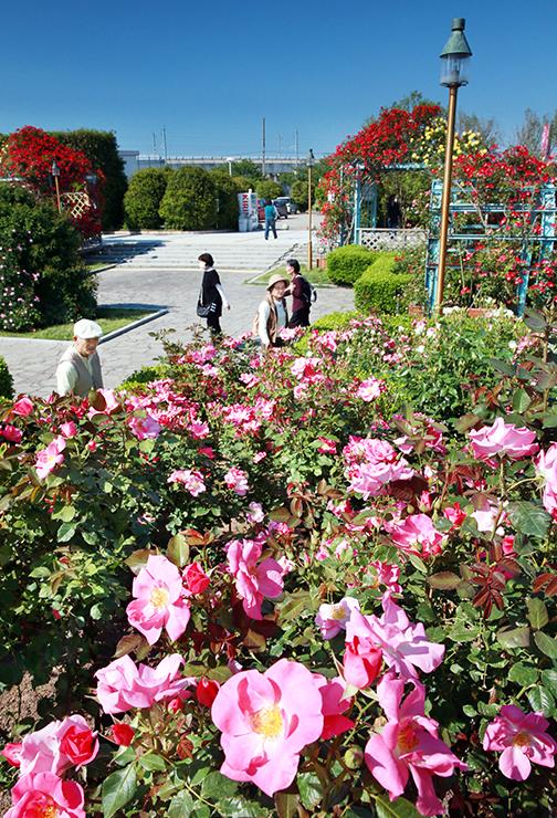 五月晴れの下、色鮮やかに咲いたバラ=高岡おとぎの森公園
