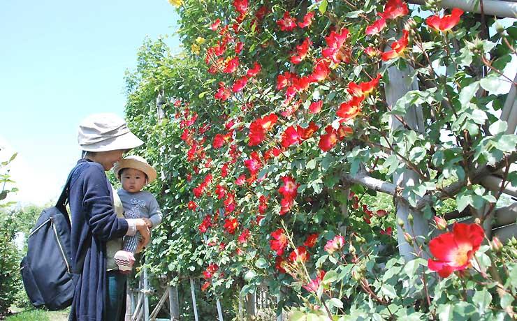 赤や黄色の花が咲き始めた一本木公園のバラ