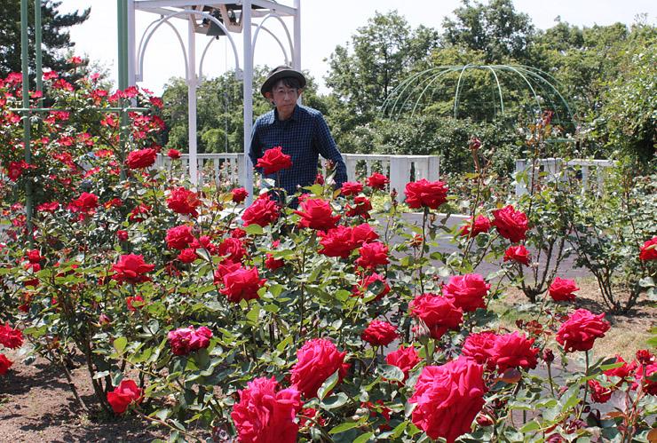 バラが見頃を迎えた園内