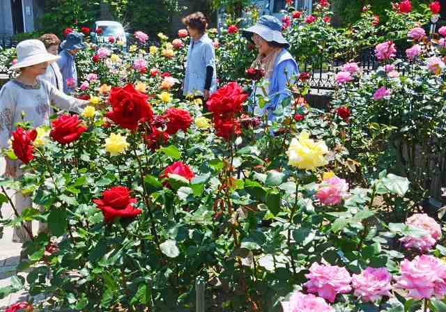 大輪のバラが並ぶ江川さんの自宅=20日、福井県福井市新田塚町