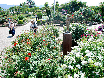 開花早く、プレオープン 中野市一本木公園「バラまつり」