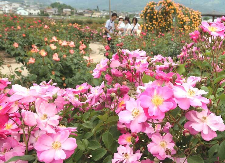 開花が進み甘い香りが漂う「さかき千曲川バラ公園」