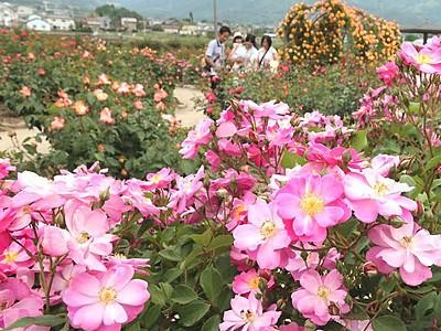 坂城のバラ、甘い香り漂う 28日から「祭り」