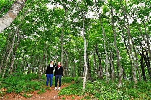 初夏の日差しに新緑の葉が輝くブナ林=24日、福井県大野市巣原の平家平