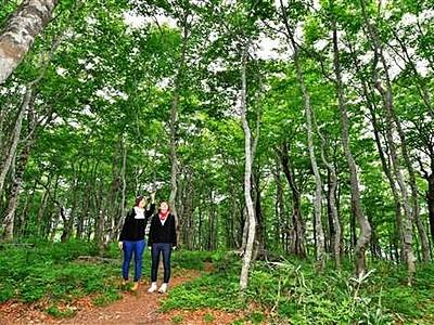 ブナ林、初夏の日差しに輝く緑 根元にはオウレンのじゅうたん