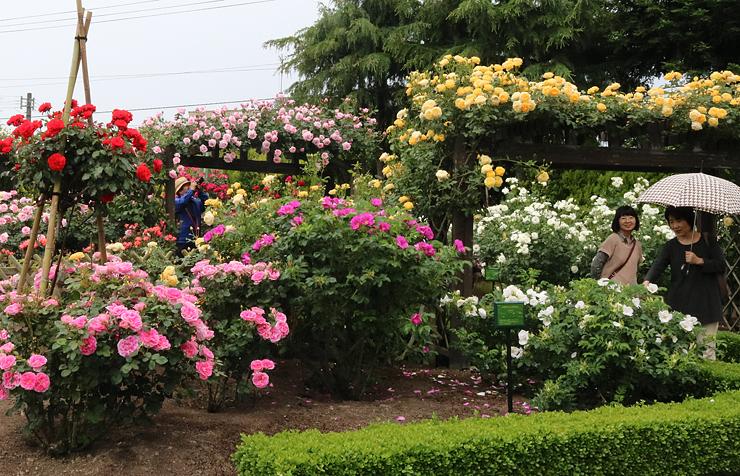 優美なバラが見頃を迎えた花壇=県花総合センター