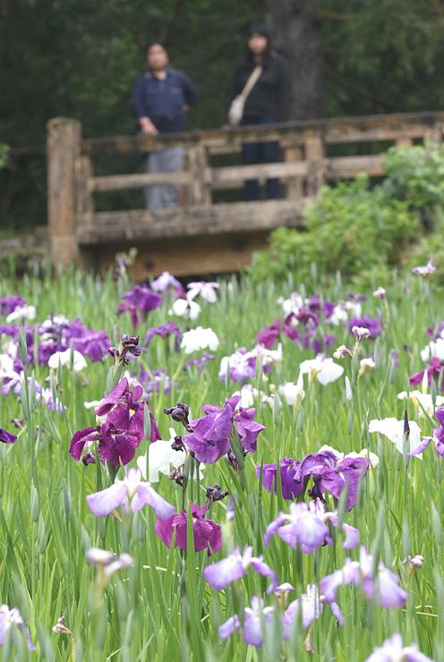 紫や白の花が雨にぬれしっとりと咲くハナショウブ=行田公園
