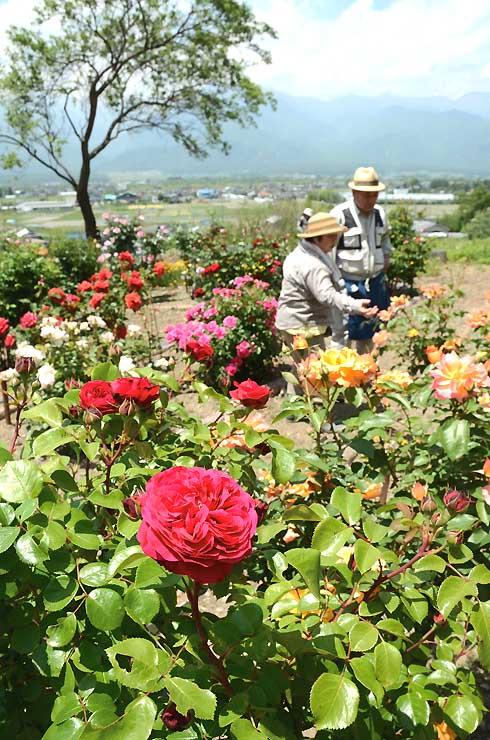 赤やオレンジ、ピンクなどさまざまな種類のバラが咲く池田町会染のバラ園