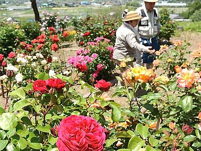 池田のバラ園まもなく見頃 6月3~5日「祭り」