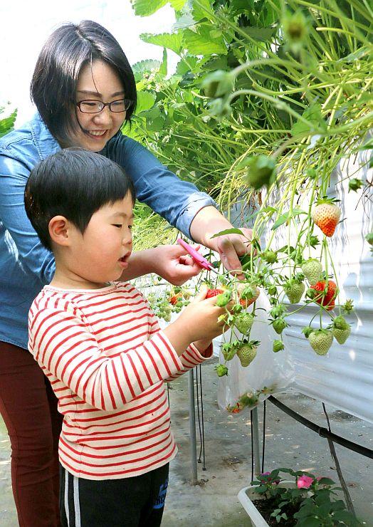 イチゴ狩りを楽しむ親子連れ=佐渡市徳和