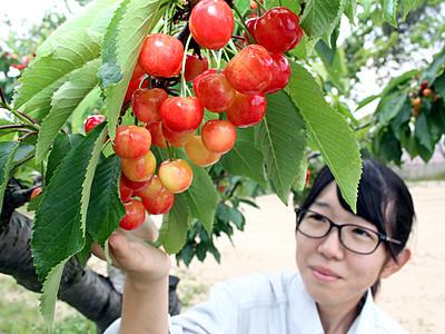 サクランボ、赤くみずみずしく 加賀フルーツランド