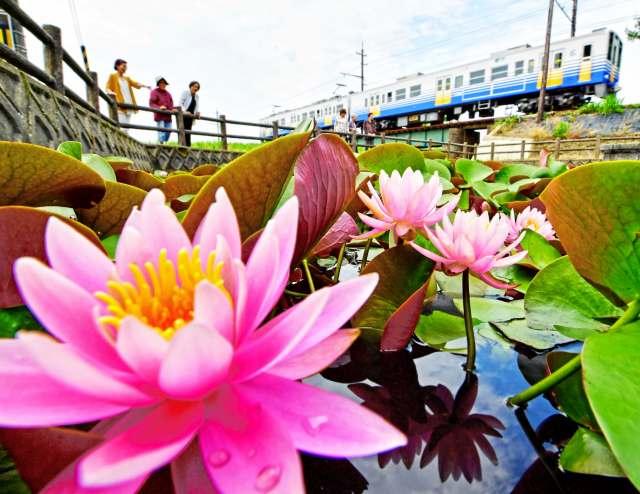 水面にかれんなピンクの花を咲かせるスイレン=福井県坂井市