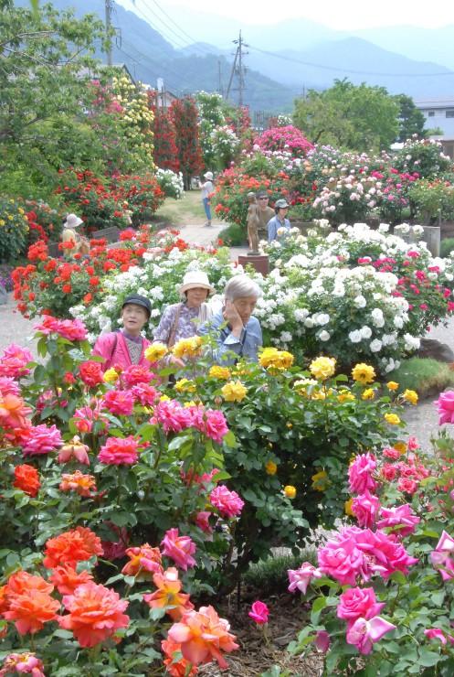 色とりどりのバラを見て回る来場者=中野市一本木公園