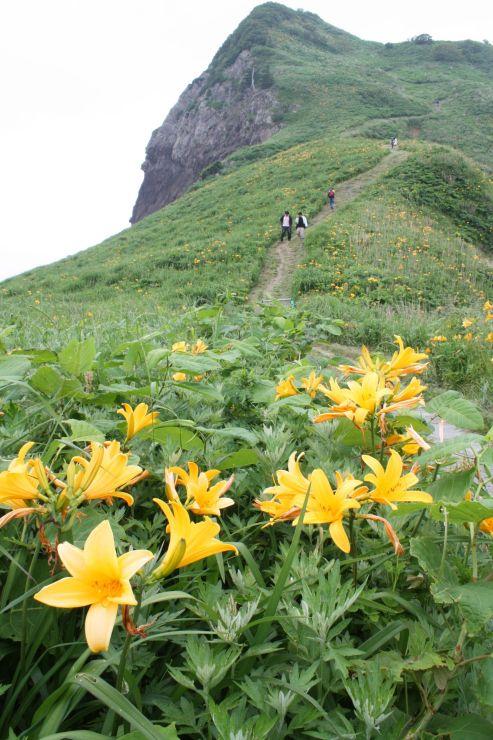 好天の下、一面に黄色い花を咲かせたトビシマカンゾウ=29日、佐渡市願