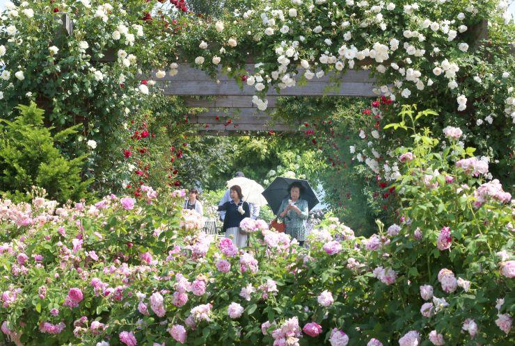 色とりどりのバラが咲き誇るみつけイングリッシュガーデン(27日、見附市新幸町)