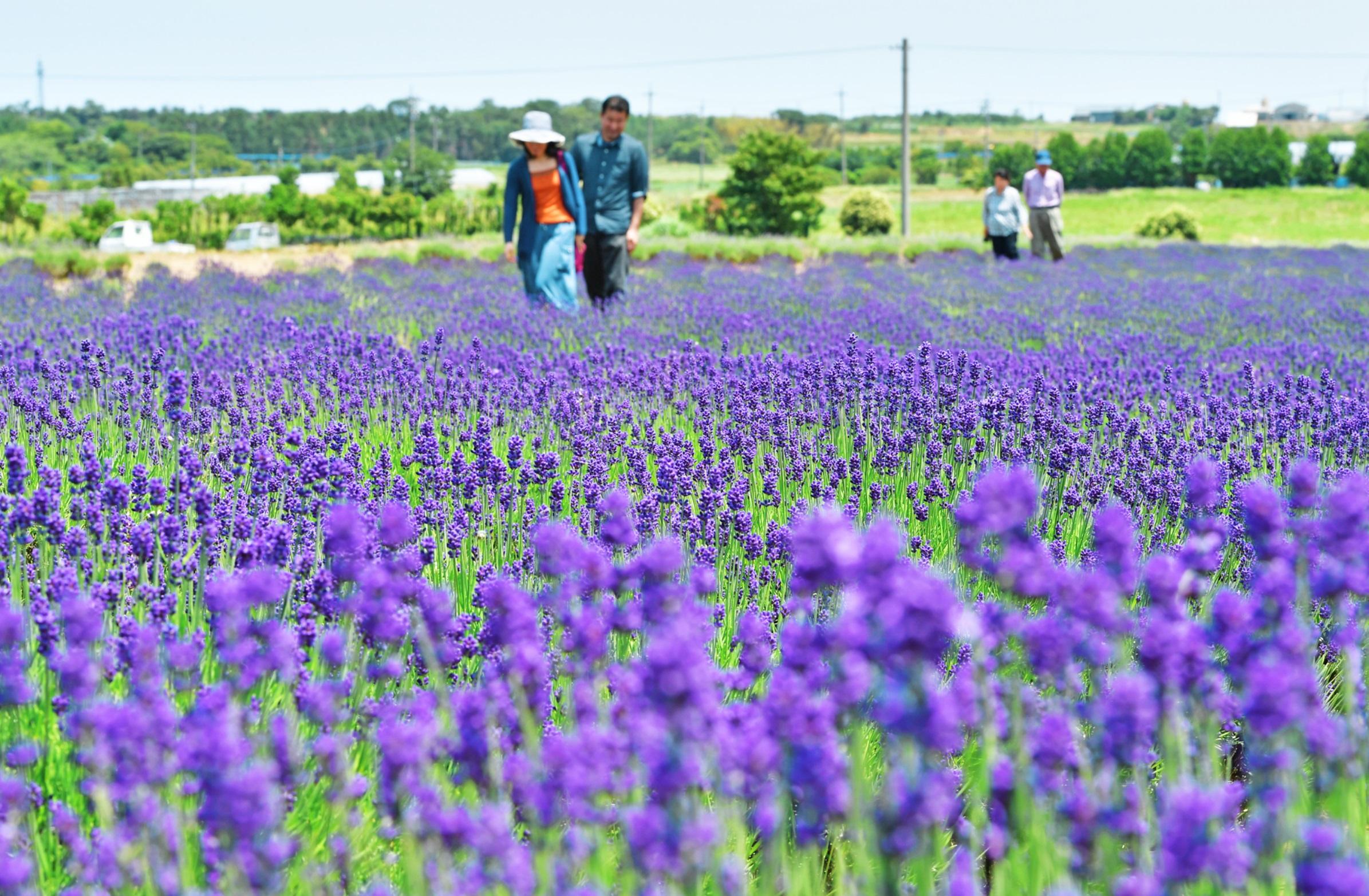 鮮やかな紫色の花が一面に広がるラベンダー畑=31日、福井県坂井市三国町加戸