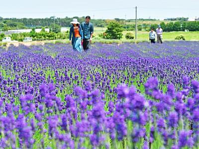 紫のじゅうたん、ラベンダー見頃 漂う香りで癒し、苗やオイル販売も