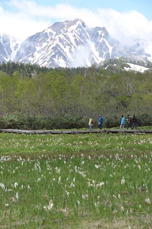 例年より早く残雪が消え、一面にミズバショウが広がる栂池自然園