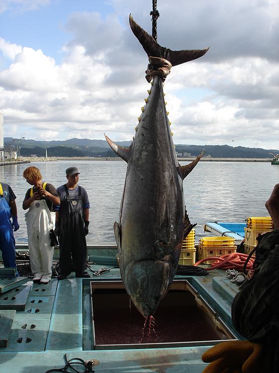 水揚げされる309キロのクロマグロ=氷見魚市場