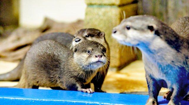 公開が始まったカワウソの赤ちゃん(中央)=2日、福井県坂井市の越前松島水族館