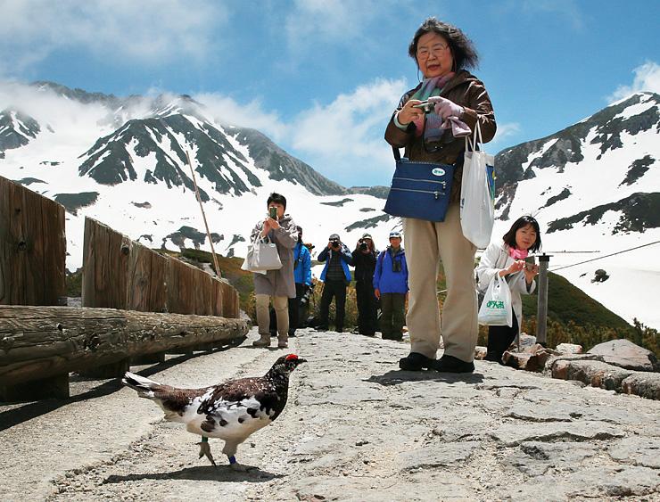 観光客のそばで遊歩道を横切る雄のライチョウ=立山・室堂